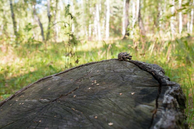 Gran-kotte på en trädstubbe arkivbilder