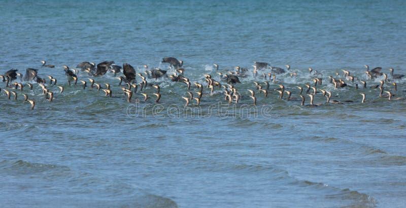 Gran lago cormorant en Mongolia del noroeste imágenes de archivo libres de regalías