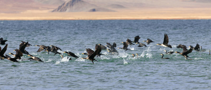 Gran lago cormorant en Mongolia del noroeste fotos de archivo