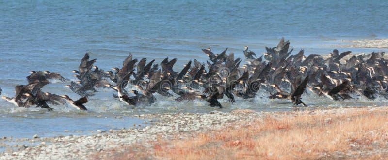 Gran lago cormorant en Mongolia del noroeste foto de archivo libre de regalías