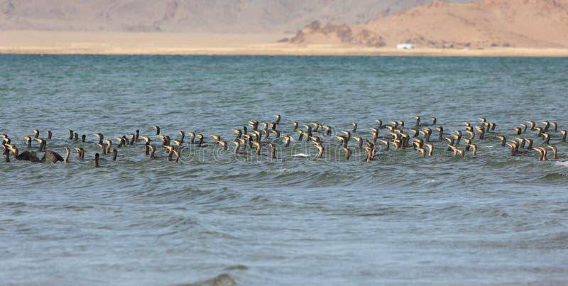 Gran lago cormorant en Mongolia del noroeste fotografía de archivo libre de regalías