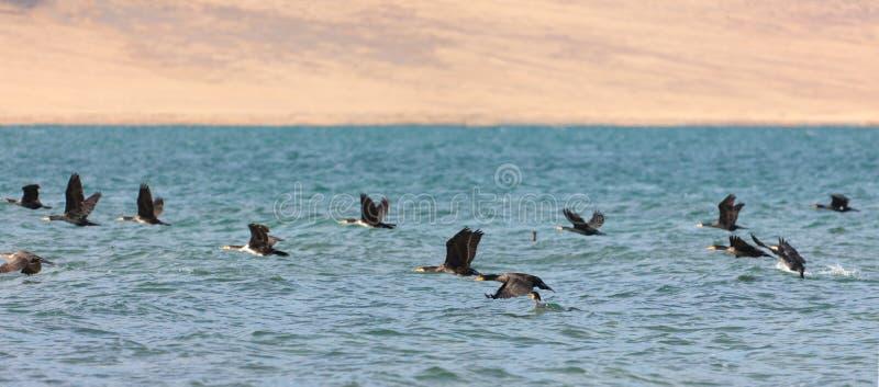 Gran lago cormorant en Mongolia del noroeste imagen de archivo