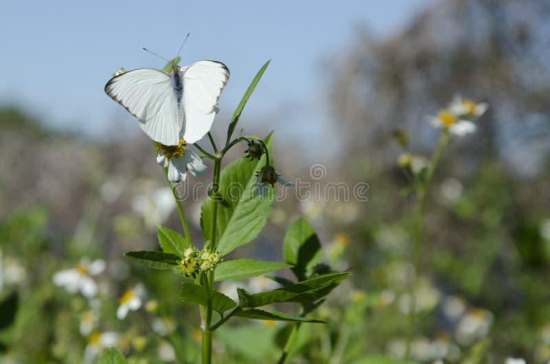 Gran mariposa blanca meridional en margaritas salvajes foto de archivo
