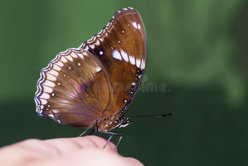 Gran mariposa de Eggfly fotografía de archivo