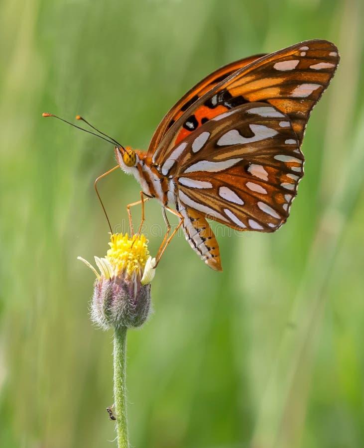 Gran mariposa florida fotos de archivo