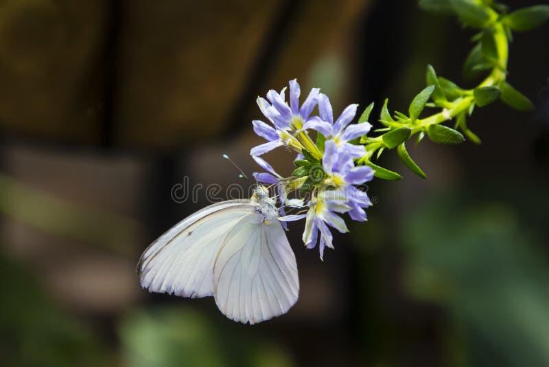 Gran mariposa masculina blanca meridional fotos de archivo