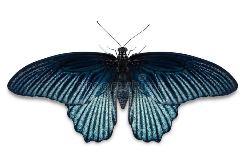 Gran mariposa masculina del memnon de Papilio del mormón foto de archivo