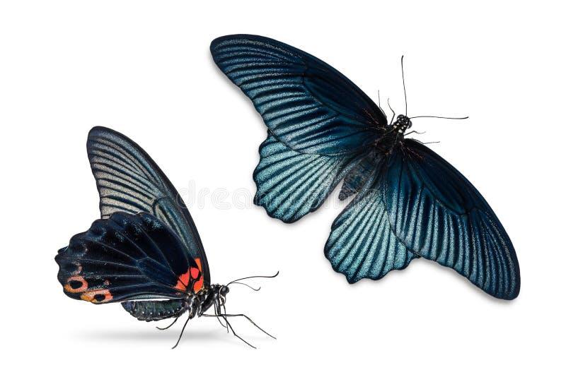 Gran mariposa masculina del memnon de Papilio del mormón imagenes de archivo