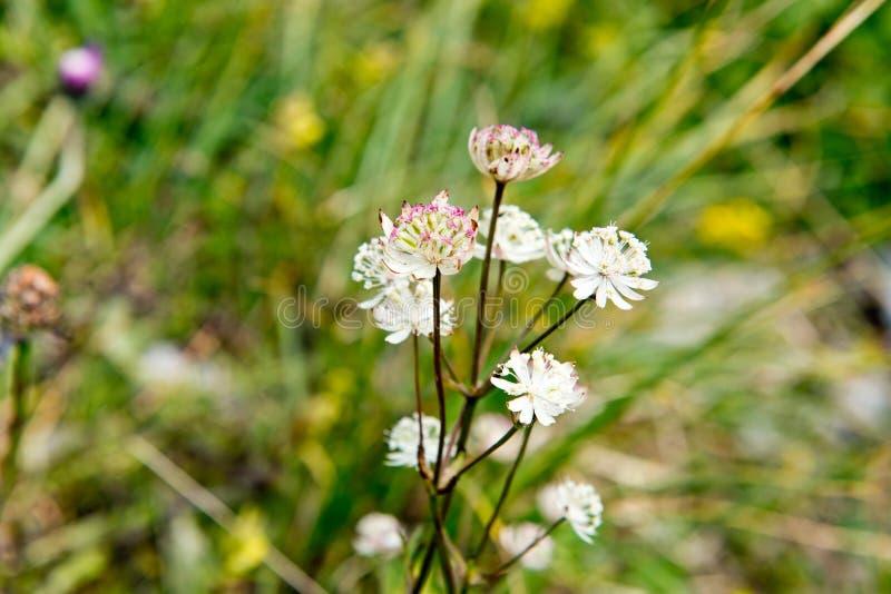Gran masterwort - la primavera florece en las montañas alemanas fotos de archivo libres de regalías
