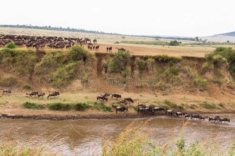 Gran migración Ajardine en Mara River con las manadas grandes del ñu Kenia fotos de archivo