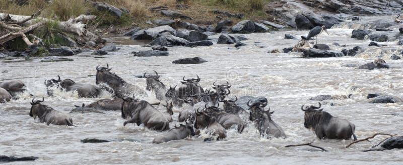 Gran migración del ñu imagen de archivo