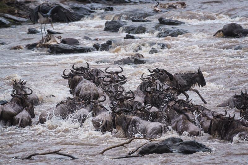 Gran migración del ñu imágenes de archivo libres de regalías