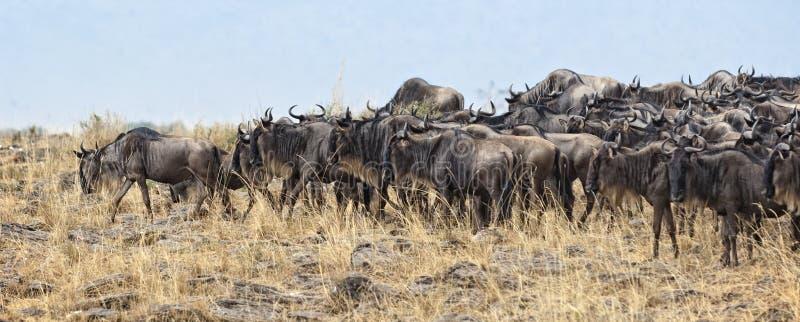 Gran migración del ñu imagenes de archivo