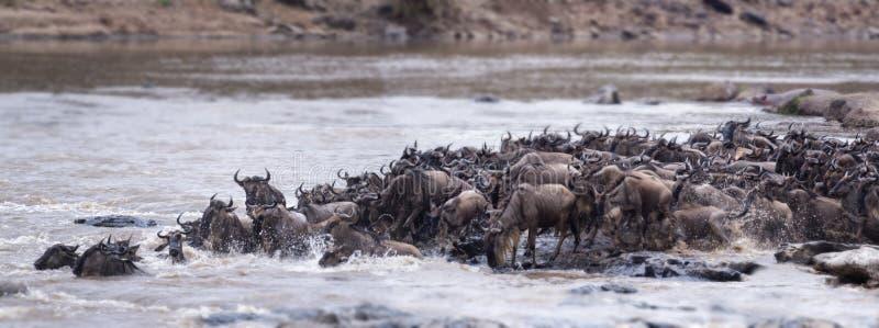 Gran migración del ñu fotografía de archivo