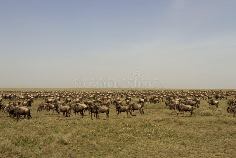 Gran migración del ñu en el parque nacional de Serengeti, Tanzania foto de archivo
