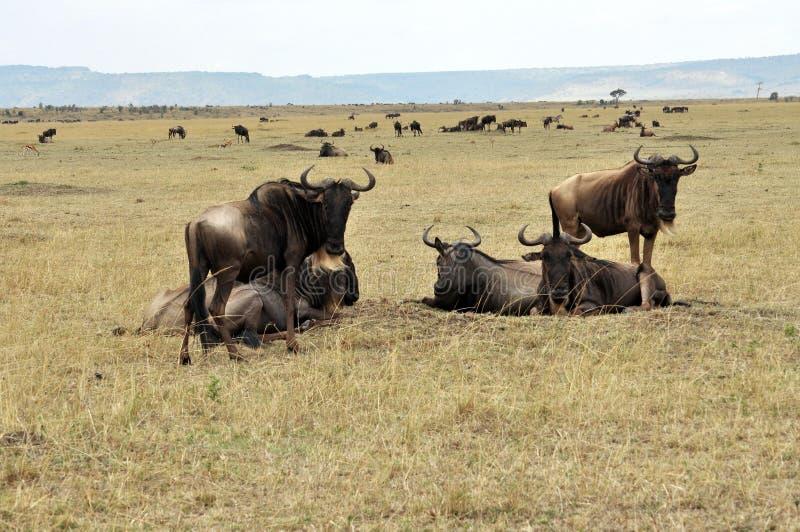 Gran migración del ñu en Tanzania imagenes de archivo