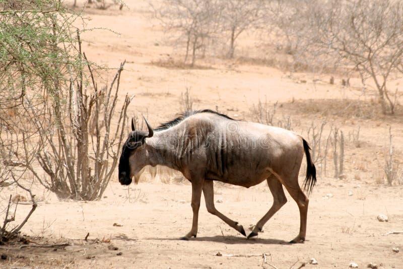 Gran migración del ñu en Tanzania fotografía de archivo