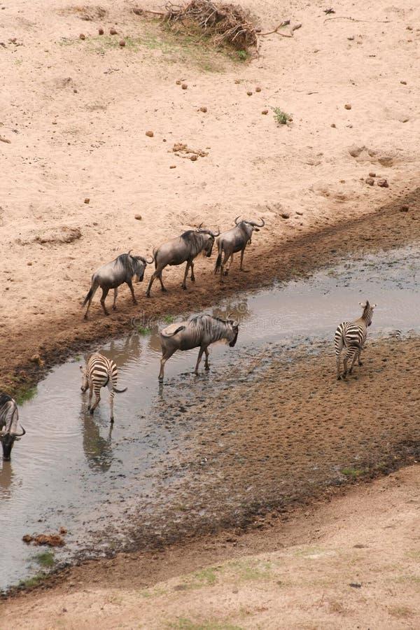 Gran migración del ñu en Tanzania fotografía de archivo libre de regalías
