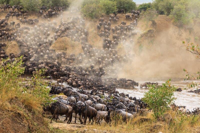 Gran migración en África Las manadas enormes de ñus cruzan el río Masai Mara, Kenia fotos de archivo libres de regalías