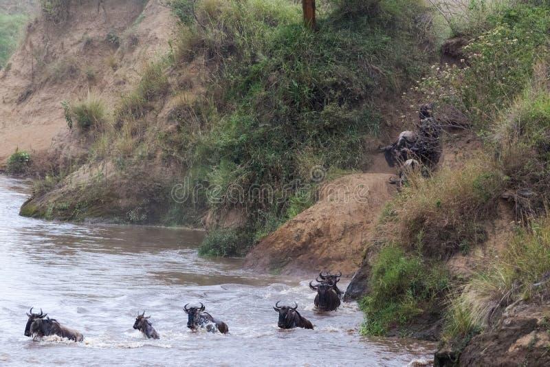 Gran migración en la acción El ñu salta del acantilado en el río Kenia, África fotografía de archivo