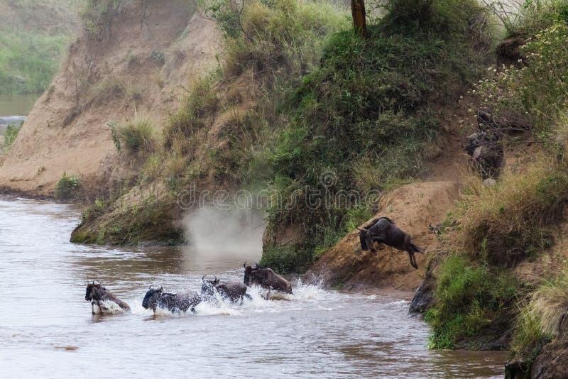 Gran migración en la acción Salto de un banco escarpado al río Kenia, África fotos de archivo