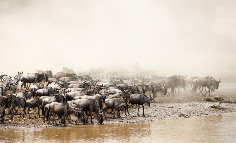 Gran migración Kenia del ñu imágenes de archivo libres de regalías