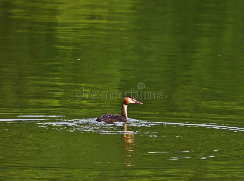 Gran natación del colimbo con cresta en los lagos Pacsmag foto de archivo