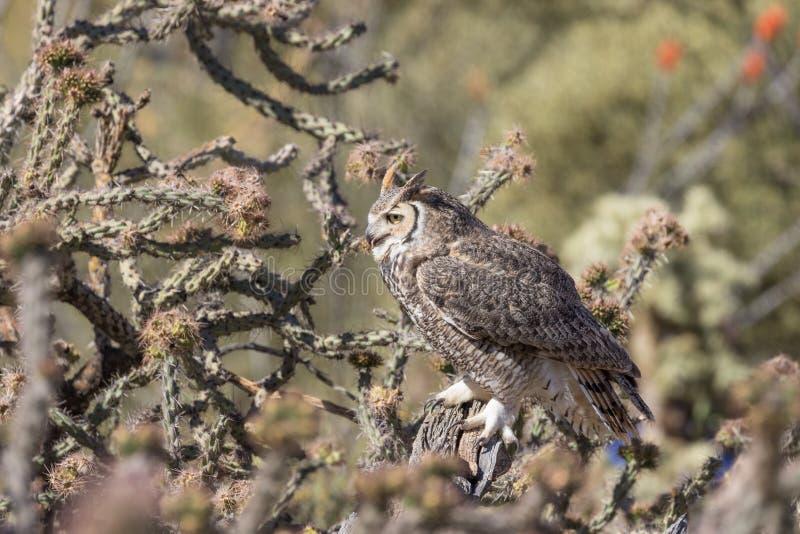 Gran Owl Perched de cuernos en cactus imagenes de archivo