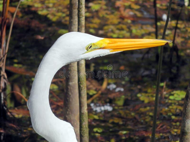 Gran pájaro del Egret fotos de archivo