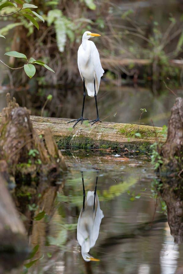 Gran pájaro del Egret en los marismas imagen de archivo libre de regalías
