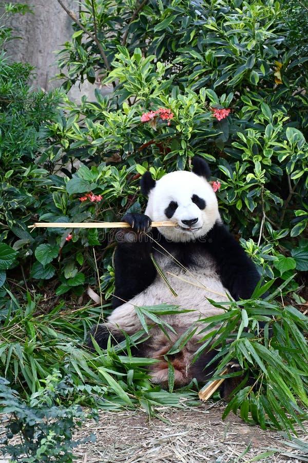 Gran Panda Jia Jia en el río Safari Singapore imágenes de archivo libres de regalías