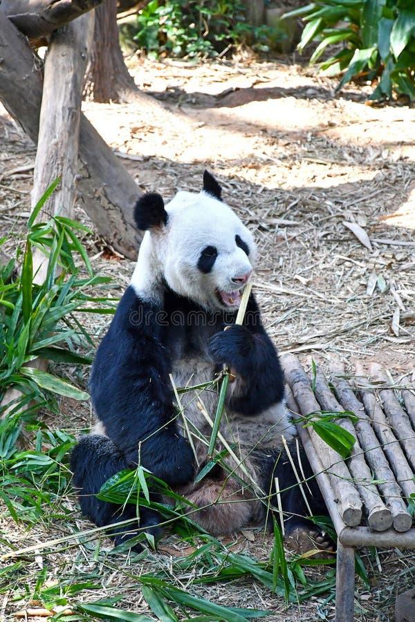 Gran Panda Kai Kai en el río Safari Singapore fotografía de archivo libre de regalías