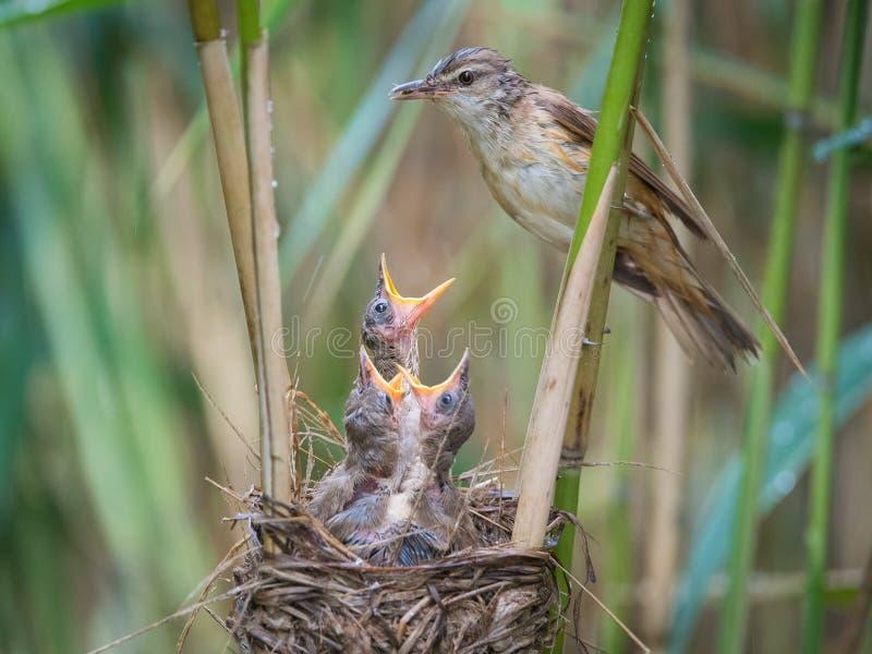 Gran Reed Warbler, arundinaceus del Acrocephalus está alimentando sus polluelos dentro de las cañas, allí es lluvia fuerte Los pá fotografía de archivo libre de regalías