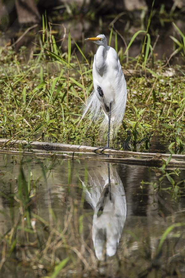 Gran reflexión del agua de la garceta que se coloca en una pierna fotos de archivo libres de regalías