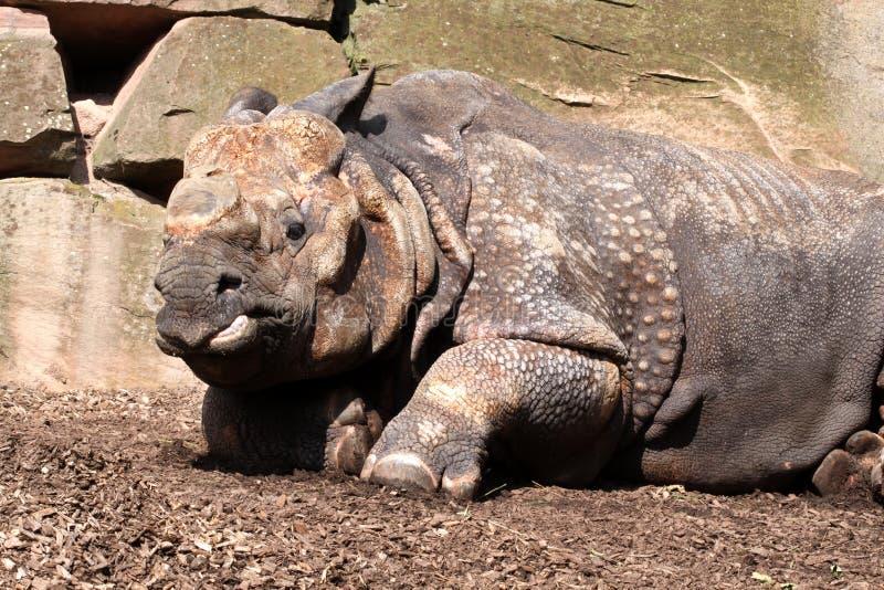 Gran rinoceronte indio imagen de archivo