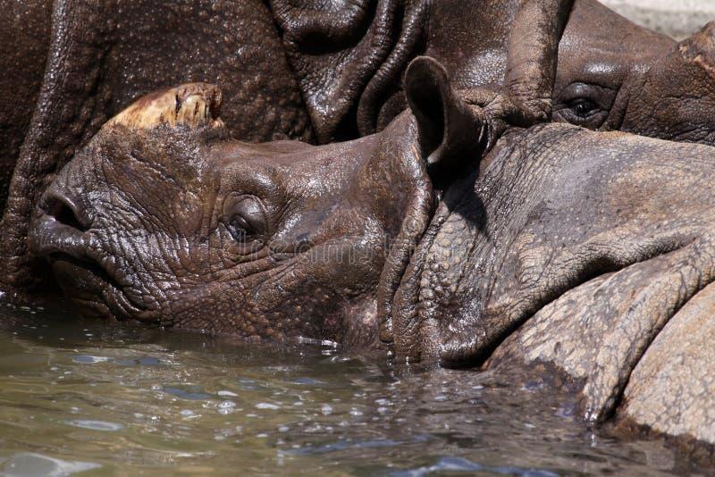 Gran rinoceronte indio fotografía de archivo