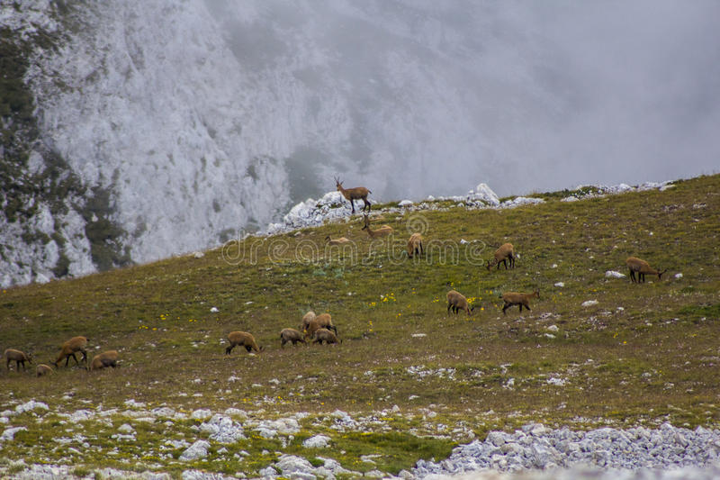 GRAN SASSO (AQ) -羚羊自豪感  免版税库存图片
