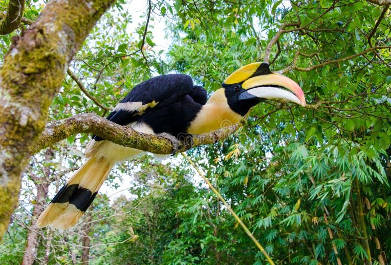 Gran soporte del hornbill en la rama en bosque imagenes de archivo