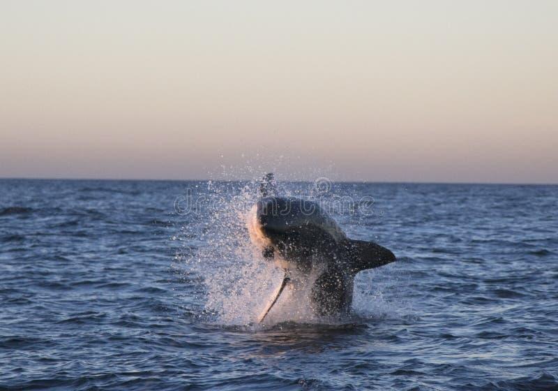 Gran tiburón blanco de Cape Town, cómo es agradable mira foto de archivo libre de regalías