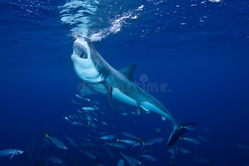 Gran tiburón blanco que introduce en la isla de Guadalupe imagenes de archivo