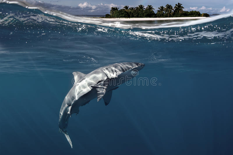 Gran tiburón blanco subacuático imagen de archivo libre de regalías