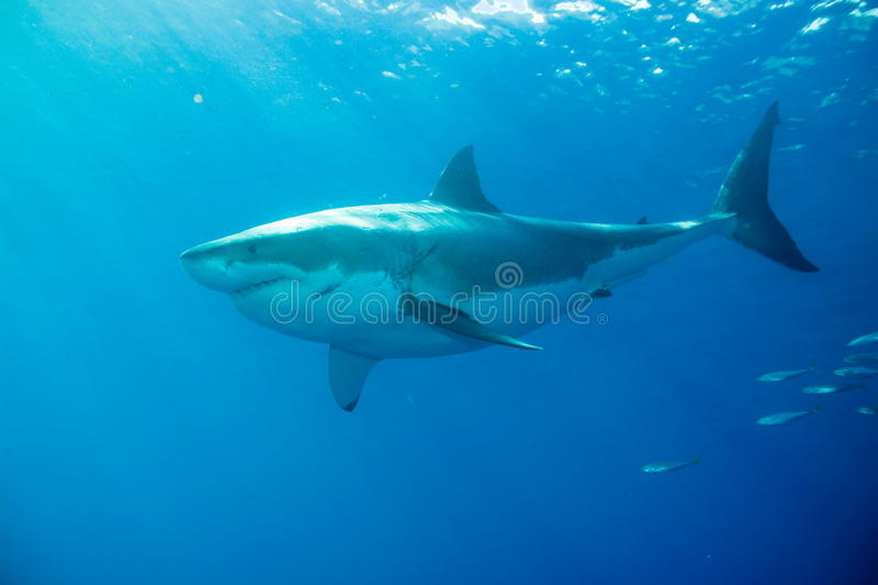 Gran tiburón blanco subacuático foto de archivo libre de regalías