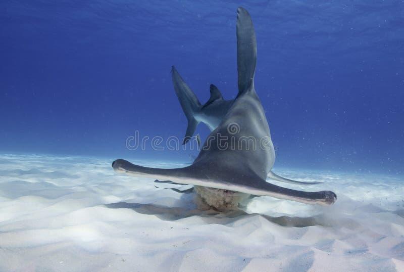 Gran tiburón de Hammerhead foto de archivo libre de regalías