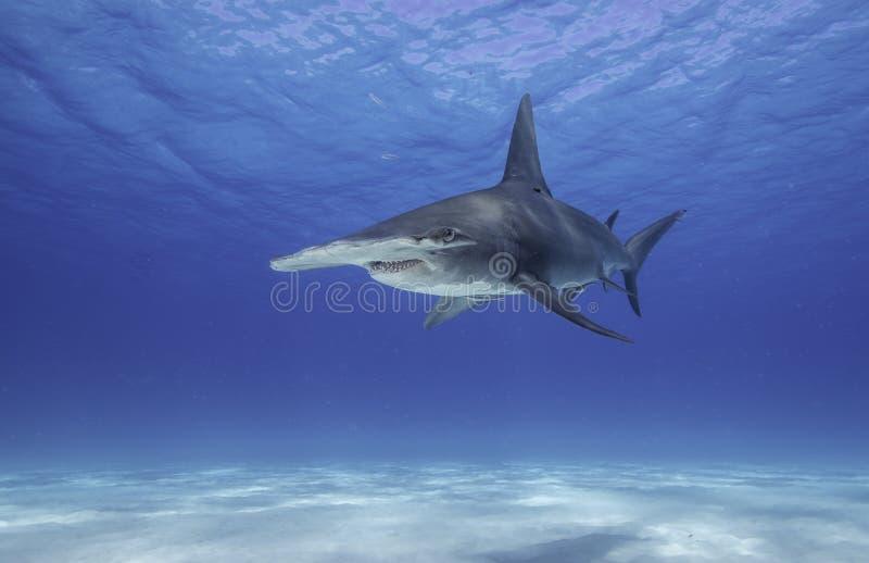 Gran tiburón de Hammerhead fotografía de archivo libre de regalías