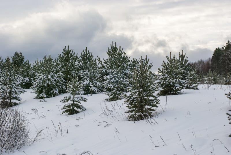 Gran-träd i vintern fotografering för bildbyråer
