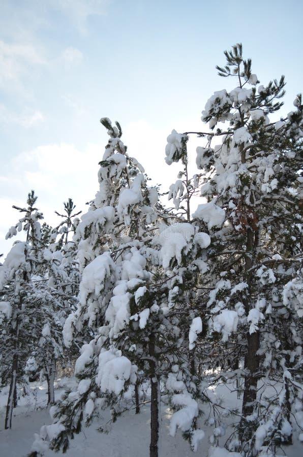 Gran-träd med ett snölock i vinter arkivbild