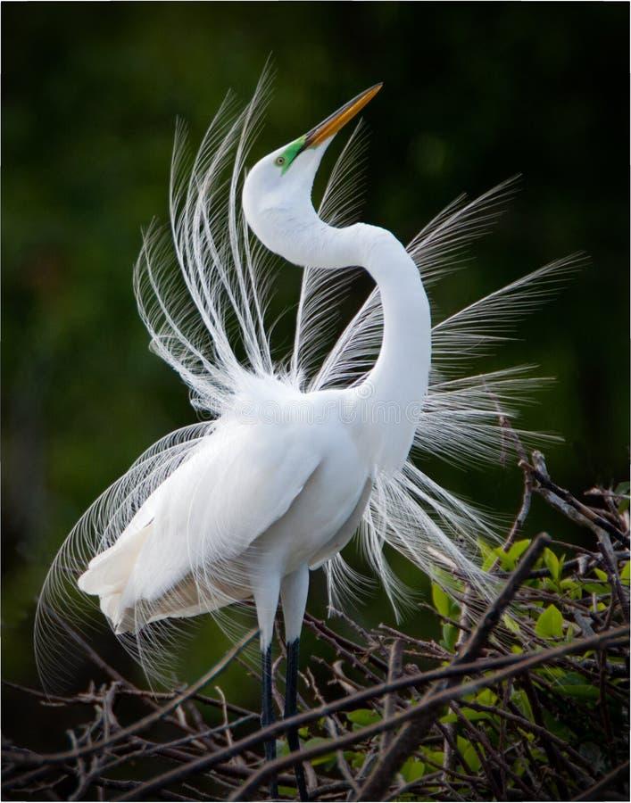 Gran visualización blanca del Egret fotos de archivo