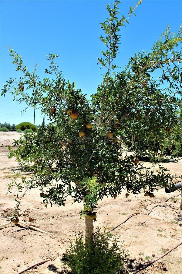 Granaatappel, Punica granatum die, fruit vergankelijke struik of kleine die boom dragen in Koningin Creek, Arizona, Verenigde Sta royalty-vrije stock afbeeldingen