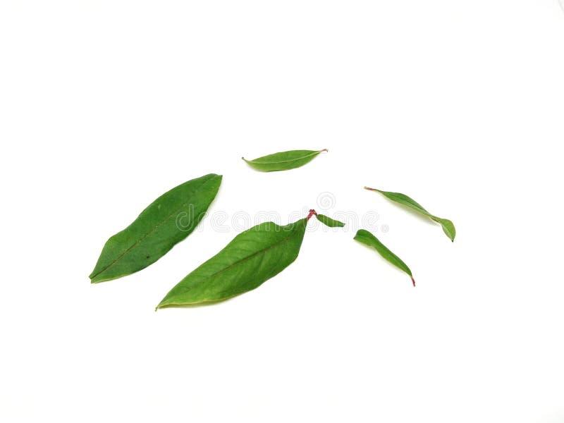 Granaatappelbladeren op witte achtergrond royalty-vrije stock foto's