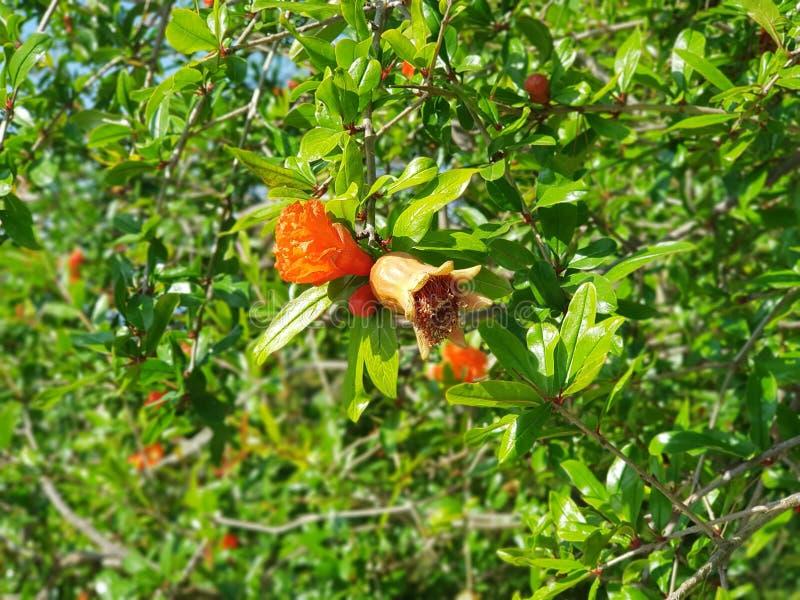 Granaatappelbloem stock foto